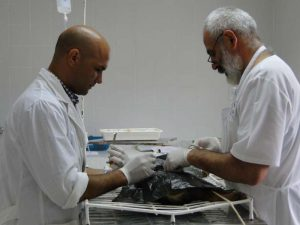 Castraccion de Mascotas - cirugia